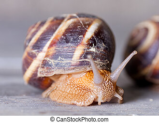 Grape snail close-up
