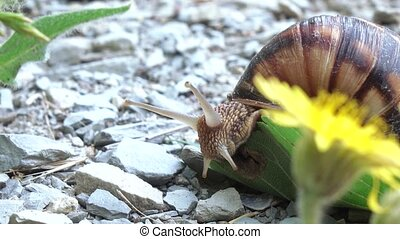 Grape snail with shell - Cautious grape snail with a shell...