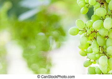 grape tree in the garden