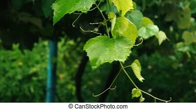 Grape twig with younf leaves slow motion in rainy day.