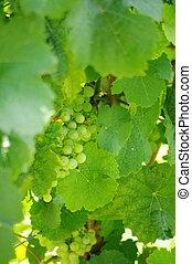 grape-vine