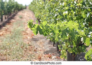 Grape Vine Branch