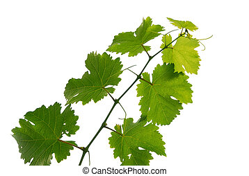 Grape vine
