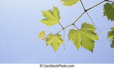Grape vine - Diagonal line on green grape vine under blue...