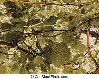 Grape vine, grape leaves, grapes in the spring in a city yard on a sunny day