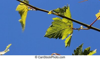 vine leaves - grape vine leaves  in the wind