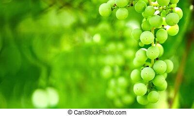 Grape vine on blurry background - Green grape vine over...