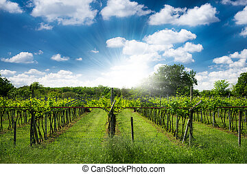 grape vine plantation in north italy with shining blue sky with clouds