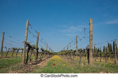 Grape vine row, with wild flowers