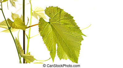 Grape vine with leaves on white
