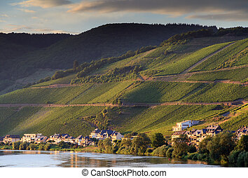 Grape vines at the river Moselle