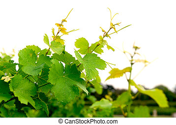 Grape vines - Branches of grape vines on white background