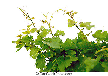 Branches of grape vines on white background