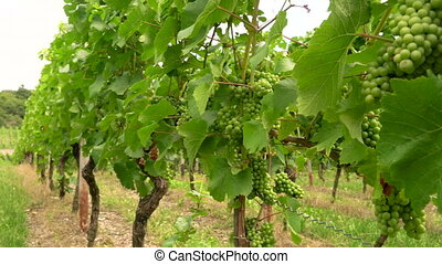 Grape vines growing in a Rhine Valley vineyard, Germany,...