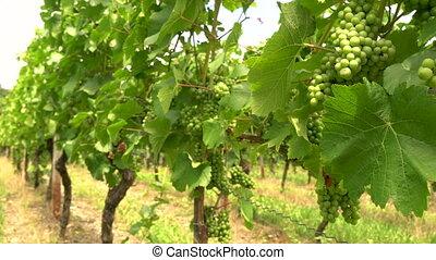 Grape vines growing in a Rhine Valley vineyard, Germany, ...