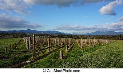 Grape vines in Australia