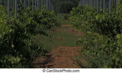 Grape vines in mid-day sun