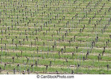 Grape Vines in the Vineyard Field