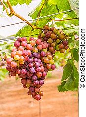 Grape vines.