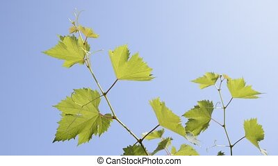 Grape vines - Two green grape vines under blue sky