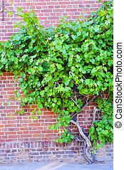 Grape wine on brick wall
