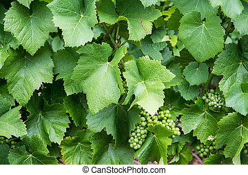 Grape with green leaves