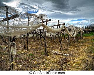 Grapefields in Turi countryside. Apulia.