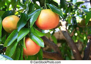Grapefruit (Citrus paradisi) - ripe grapefruit fruits on the...