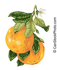 Grapefruit fruits with blooming flowers on the branch of citrus tree in vector