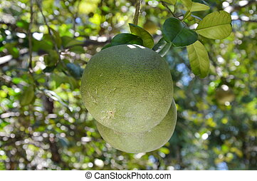 grapefruit on the branch