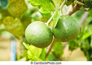 Grapefruit on the tree.