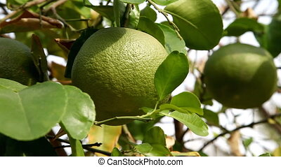 Grapefruit tree, close-up