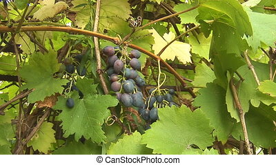 grapes 3 - grapes on the vine