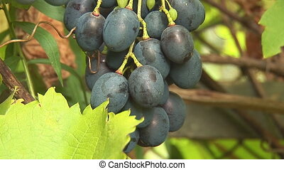 grapes 5 - grapes on the vine