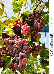 grape's abundance - abundance of pink grape clusters