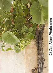 grapes and vine trunk - Grapes on the vine at Montbrun Des...