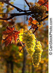 Grapes and vines in autumn - Grapes in autumn on a vine in...