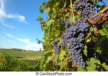 Grapes - Big red grapes waiting for the harvest; Nebbiolo...
