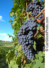 Grapes - Big red grapes waiting for the harvest; Nebbiolo ...