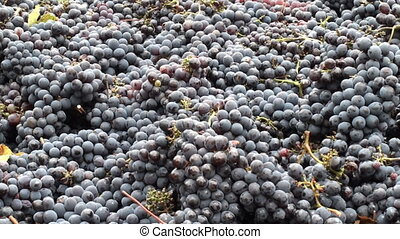 Black grapes just after having been harvested awaiting further processing