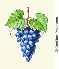 Grapes. Bunch of Berrys in engraving style.