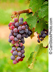 Grapes - Bunch of red grapes growing on a vine, closeup