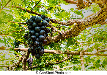 Grapes bunch on green background