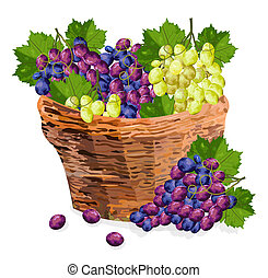 Grapes bunch watercolor basket Vector illustration. Red and green grapes in a wooden basket. Fall season templates