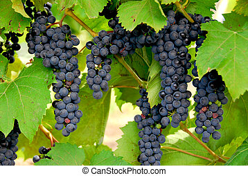 Bunches of red grapes grow on a vine
