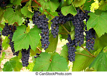 Grapes - Bunches of red grapes growing on a vine