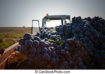 Grapes gathered in Utiel Town