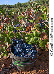 Grapes gathered