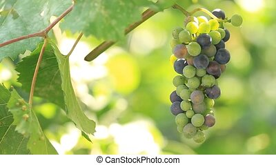 Grapes grow on plantation and sunlight