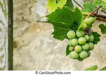 Grapes growing against the wall